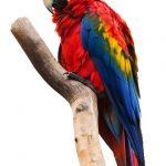 Papagáj Ara na konári.