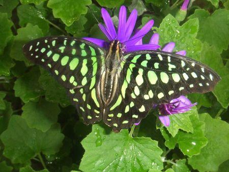 Motýľ Graphium Agamemnon